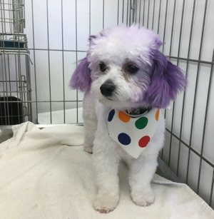 dog grooming colouring