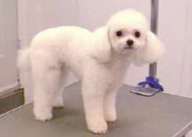 poodle mix grooming,