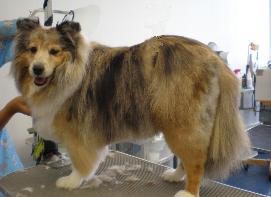 dog, dog grooming,