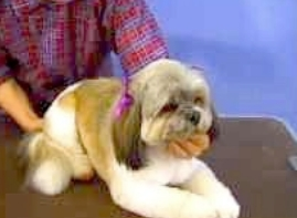 shih tsu grooming, dog grooming salon,
