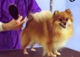 Pomeranian grooming,