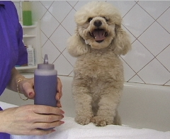 shampooing poodle, pet grooming studio Aurora