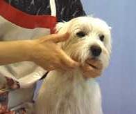 Westy grooming