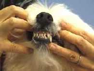 dog teeth brushing
