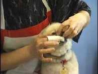 Pomeranian grooming, tooth brushing