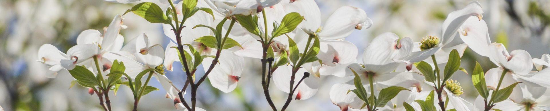flower-4 dogwoods