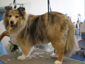 dog grooming, shelty