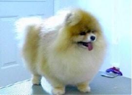 Pomeranian, dog grooming studio,