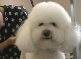 Bichon, dog grooming salon,