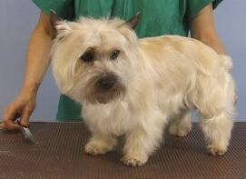 terrier, dog grooming