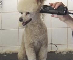 pet salon, poodle grooming,