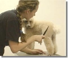 poodle grooming, students,