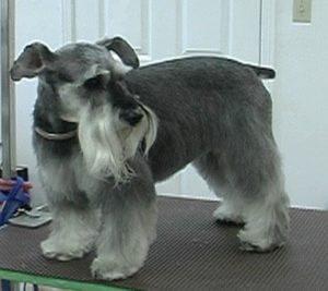 Schnauzer , grooming dogs,