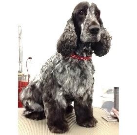 Spaniel, dog grooming,