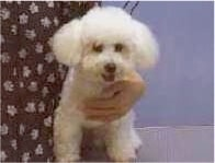 Bichon, dog grooming,